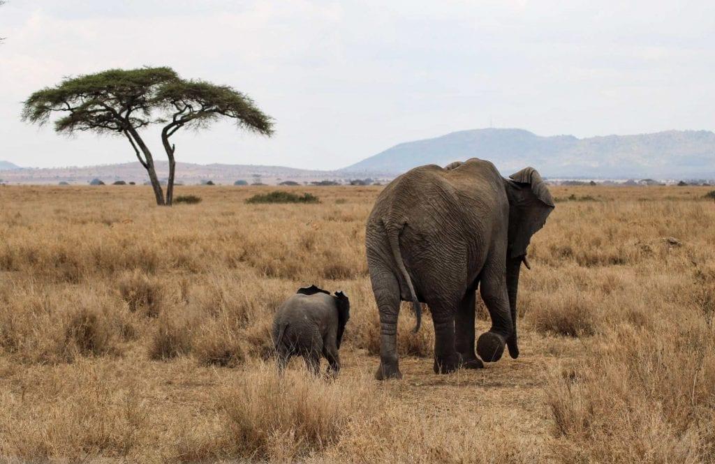 Herd of elephants in Serengeti