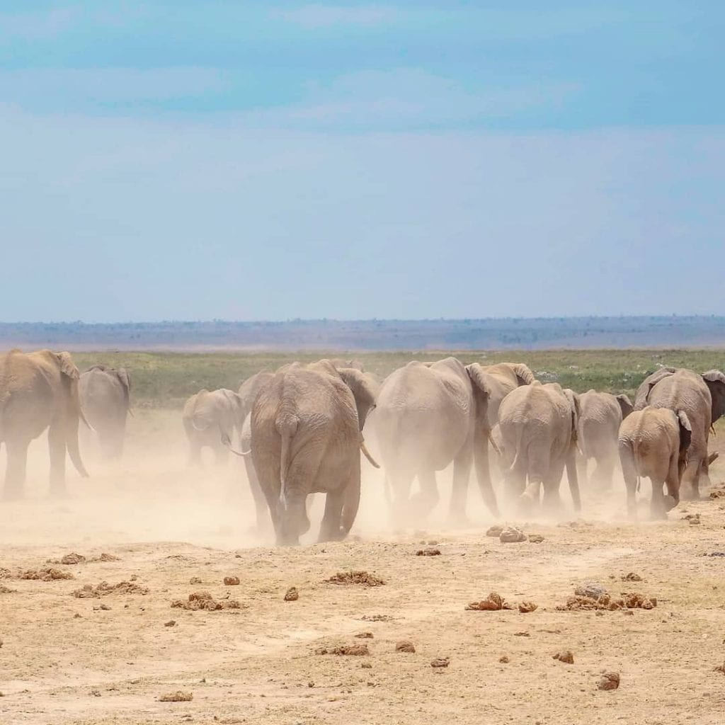 African elephants in Amboseli at sunset