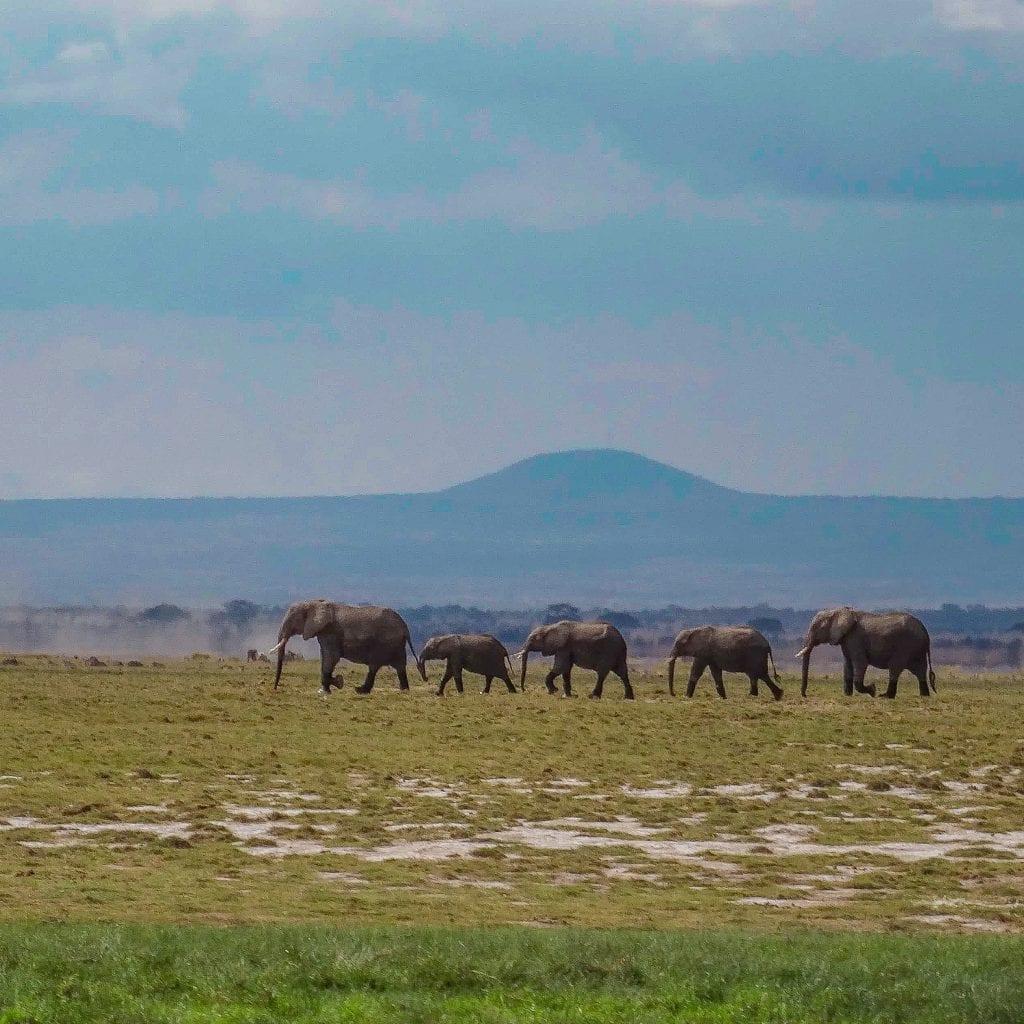 African elephant herd in Amboseli kenya