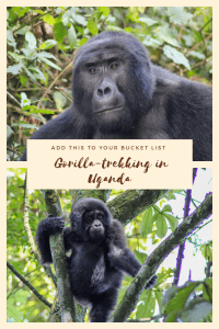 Our honest review of Gorilla-trekking in Bwindi Imepenetrable Forest, Uganda. With detailed advice on how to book a tour, where to stay and what to wear.