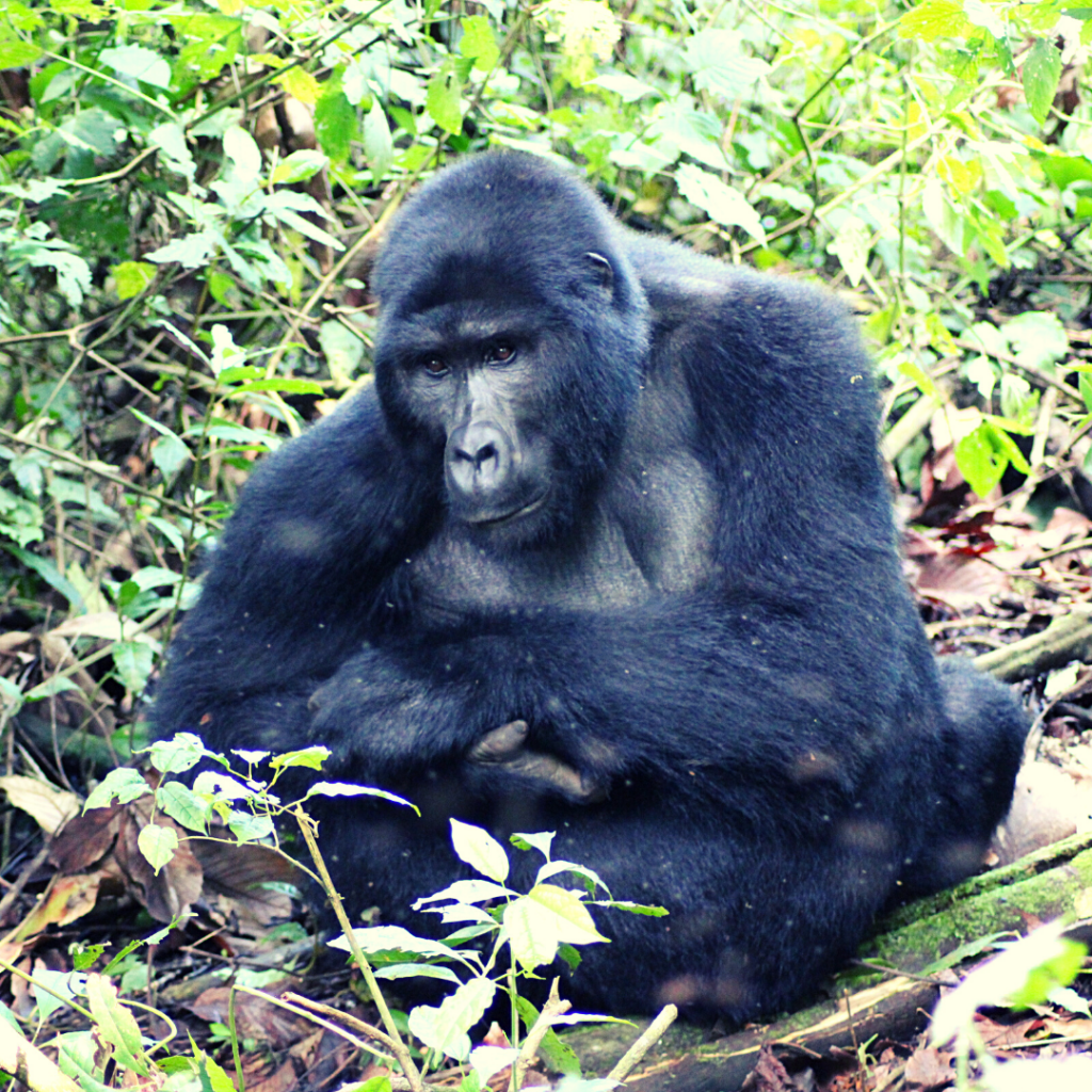 silverback gorilla in bwindi